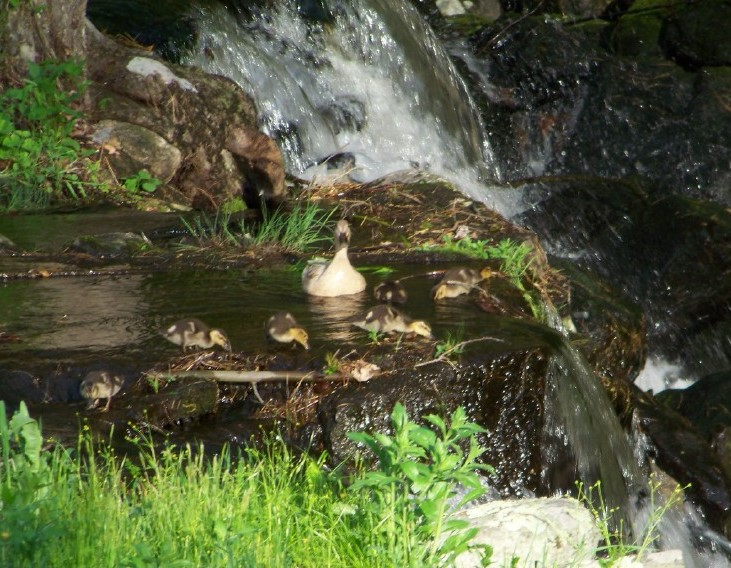 Mama duck and her ducklings take a break