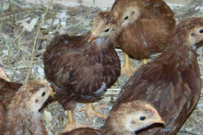 Maine Chickens