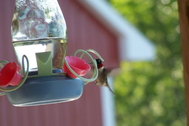 Maine Humming bird